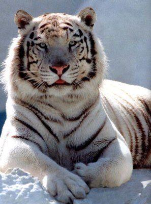 Le tigre blanc tigre blanc photo - Tigre polaire ...